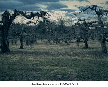 Late Winter Apple Orchard