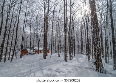 A late winter - early spring day in a maple woods.  Fresh fallen snow - maple sap buckets abound on trees in preparation for the coming season.  Sugar shack in woods.