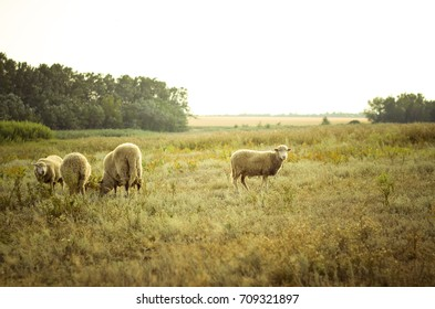 Later summer. A small herd of sheep enjoy a variety of steppe grasses.