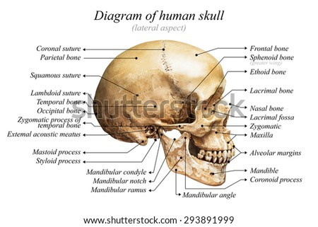Lateral Aspect Human Skull Diagram On Stock Photo (Edit Now ...