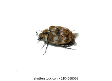 Lateral perspective of a tiny Carpet beetle (Anthrenus verbasci) adult insect isolated over a white background.