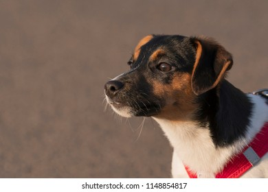 Lateral portrait of a Jack Russel Terrier