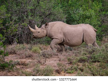 Lateral profile of a black rhinoceros (Diceros bicornis) in motion in dry arid landscape, with acacia bush background