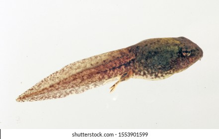 Lateral (side) view of a large Green Frog (Rana clamitans; also known as Lithobates clamitans) tadpole on a white background.