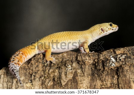 Lateral View Of A Leopard Gecko Eublepharis Macularius On Branch Against Dark