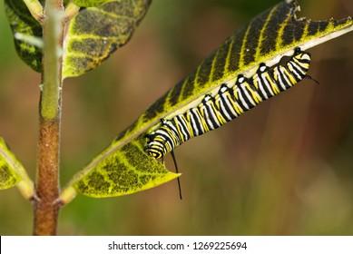 Late-season monarch caterpillar (Danaus plexippus) feeding on common milkweed (Asclepias syriaca) in Big Meadows, Shenandoah National Park, Virginia, USA, in mid-September.