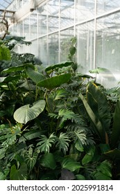 Latest dreamy garden with exotic evergreen plants in greenhouse with natural sunlight. Old tropical botanic garden. A variety of plants: monstera, palms, ferns. Retro vintage colour photo filter.
