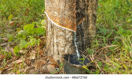 Latex in the bowl and rubber tree garden