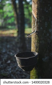Latex is droped into the bowl by rubber tapping in the morning , Latex being collected from a Para rubber tree