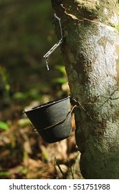 Latex extracted from natural rubber tree (Hevea Brasiliensis) as a source of natural rubber.