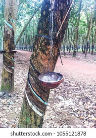 latex rubber being extracted from rubber tree to a pot in south Vietnam