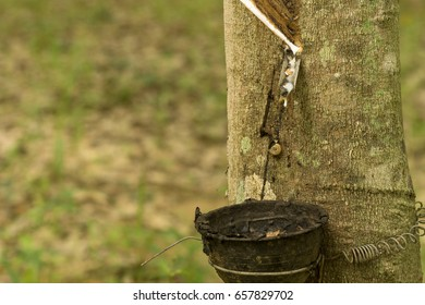 Latex from rubber tree.