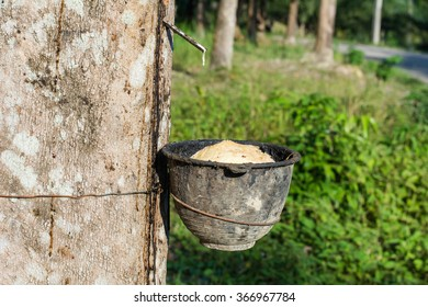 Latex from rubber tree in a bowl at the rubber plantation in Thailand