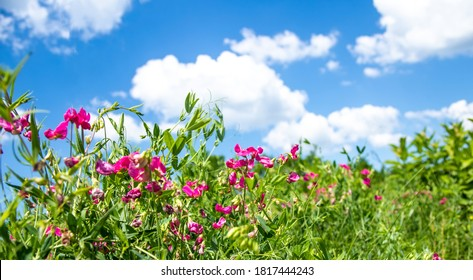 Lathyrus tuberosus, tuberous pea, tuberous vetchling, earthnut pea, aardaker, tine-tare climbing groundcover with pink bee-pollinated flowers. Used in agriculture, medicine, beekeeping
