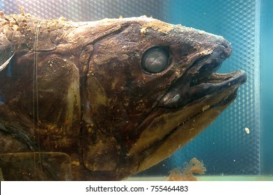 Latimeria or Coelacanth (Latimeria chalumnae Smith), A living fossil, the oldest known living lineage of Sarcopterygii (lobe-finned fish and tetrapods).