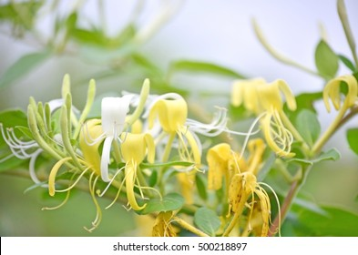 Latin name is: Lonicera japonica, common name is: Honey suckle This flower vivid yellow and white, has powerful smell, violent creeps, ineradicable, attracts bees.