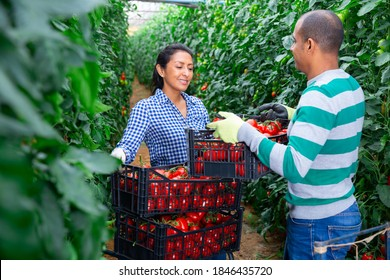 Latino male and female workers gathering crop of tomatoes in glasshouse