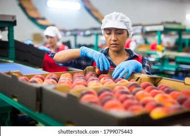Latino woman sorts fresh peaches on a fruit packing line