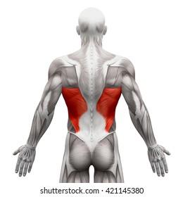 Latissimus Dorsi - Anatomy Muscles isolated on white - 3D illustration