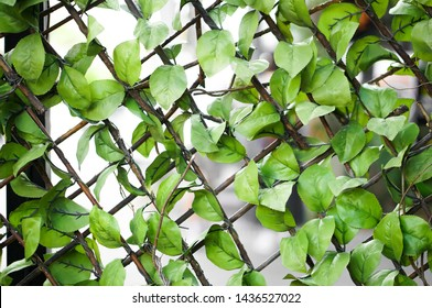 The lattice covered with artificial ivy. Artificial leaves. Artificial plant. Background. Copy space. Expandable Plastic Ivy Fence. Ivy Leaf on Lattice Backdrop Wall. Fake green plant background.