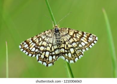 The latticed heath moth
