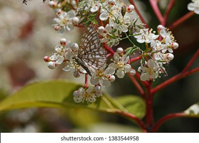 latticed heath moth Latin chiasma clathrata from the geometridae or geomtrid family of moths feeding on a photinia frasari red robin flower family rosaceae in spring in italy by Ruth Swan