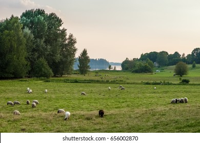 Latvia landscape with sheep near Riga