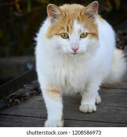 Latvia.Riga 2018 October.Bright cat walkin on wooden bridge