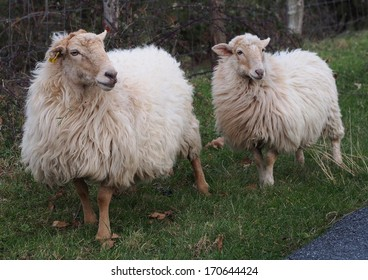 Latxa sheeps in Basque country