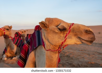 Laughing Camel at the desert