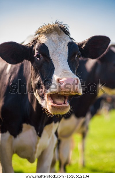 The laughing cow in the meadown with funny expression