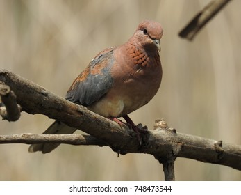 Laughing dove.