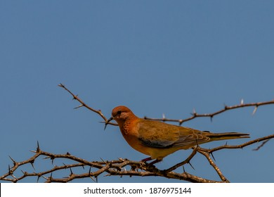 A laughing dove perched on thorny branch.