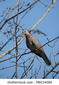 Laughing dove perched in a tree.