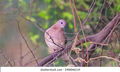 The laughing dove (Spilopelia senegalensis) is a small pigeon that is a resident breeder in Africa, the Middle East, the Indian Subcontinent, and Western Australia.