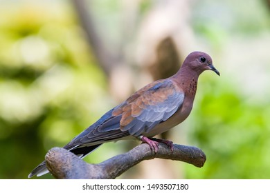 a Laughing dove stands on the branch. A rufous and black chequered necklace gives it a distinctive pattern and is also easily distinguished from other doves by its call.