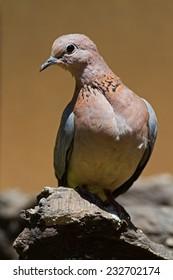 Laughing dove; Streptopelia senegalensis