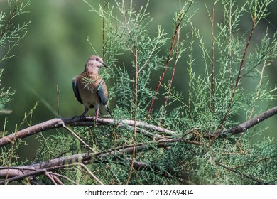 Laughing dove wandering around the Kabini forest.