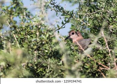 Laughing dove wandering around the Kabini forest, Karnataka, India