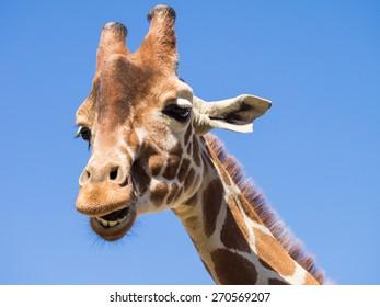 Laughing Giraffe against blue sky