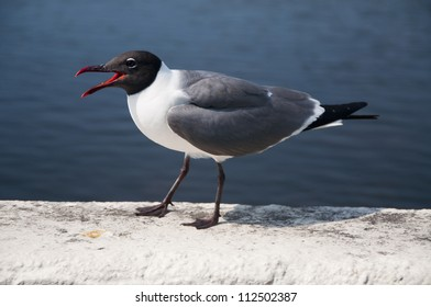 A laughing gull calling out,