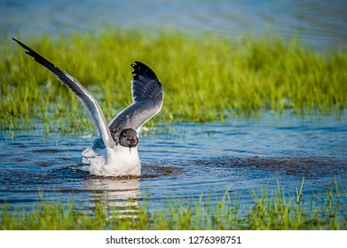 Laughing Gull enjoying a bath
