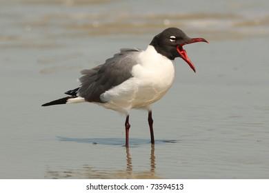 Laughing Gull (Larus atricilla) calling on a beach on  Cumberland Island, Georgia