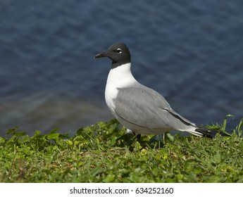 Laughing Gull, Larus atricilla, on green grass with blue water background