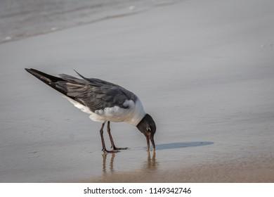 Laughing Gull (Leucophaeus atricilla) walking on the beach at the Padre Island National Seashore, Corpus Christi, TX, USA