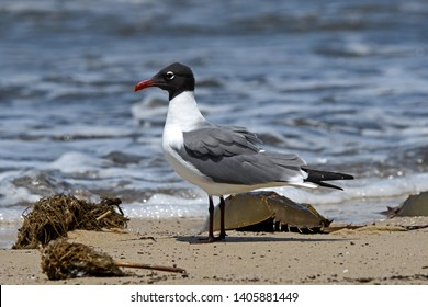 Laughing gull scavenging for eggs of Horseshoe crabs. The gull named for its laugh-like call, is an opportunistic omnivore and scavenger. The crabs are marine and brackish water arthropods.