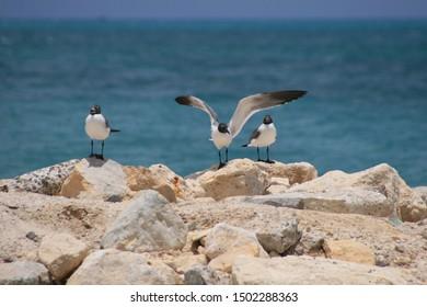 Laughing gulls, Antigua, Caribbean, West Indies