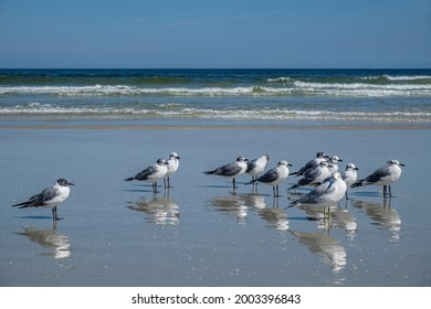 Laughing Gulls, Florida. USA, North America, Florida