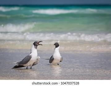 Laughing Gulls  - Larus atricilla - Gossiping On The Beach
