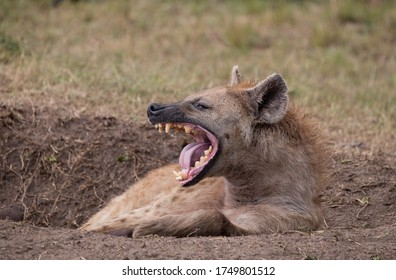 Laughing Hyena on the Plains of Africa